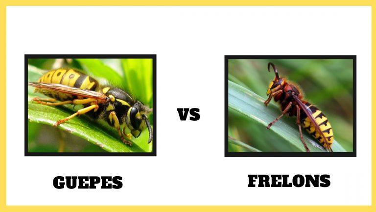 difference entre guepe et frelon