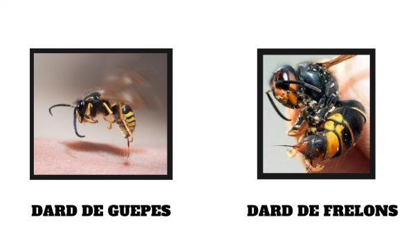 dard guepe vs dard frelon